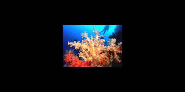 Un cinquième des coraux a disparu depuis 20 ans - La Libre