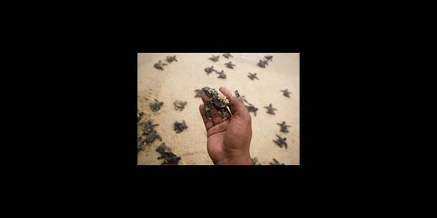 Mort mystérieuse de tortues vertes en Australie - La Libre