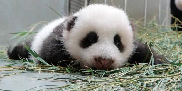 Naissance d'un panda géant au zoo de Madrid - La Libre