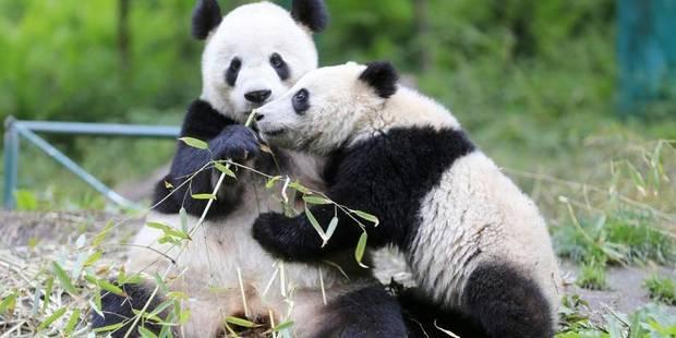 Pandi, Panda, petit ourson de Chine? - La Libre