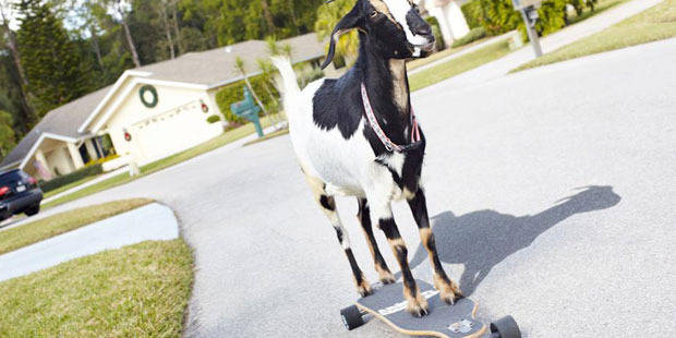 Le 100 m en talons aiguilles et une chèvre sur un skate-board, cru 2014 du Guinness - La Libre