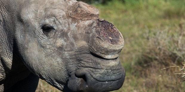 Le trafic de cornes de rhinocéros, plus néfaste que jamais! - La Libre