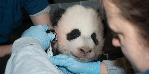 """Trésor"", le bébé panda de Washington - La Libre"