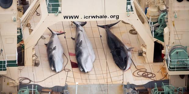 Près de 40 baleines échouées sur une plage de Nouvelle-Zélande - La Libre