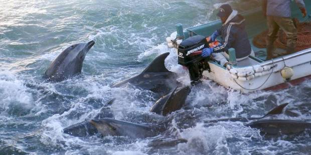 Des dauphins massacrés à l'est du Japon - La Libre