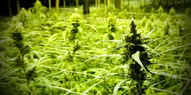 La légalisation du cannabis au programme des socialistes flamands - La Libre