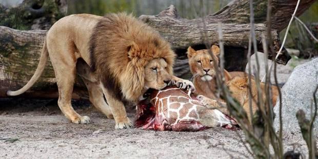 Après un girafon, quatre lions tués au zoo de Copenhague - La Libre
