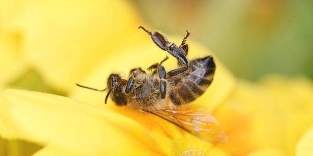 La Belgique, pays européen où le taux de mortalité des abeilles est le plus important - La Libre