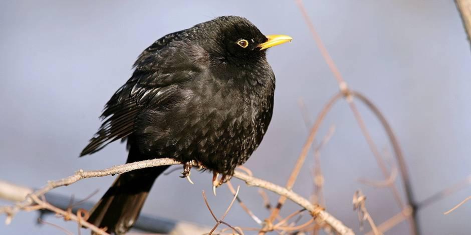 Bientôt plus que 10 espèces d'oiseaux dans nos jardins ? - La Libre