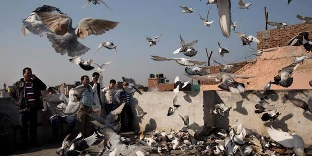 Nourrir les oiseaux sauvages favorise les espèces envahissantes comme les pigeons - La Libre