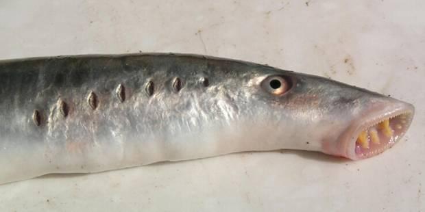 Pourquoi ces poissons suceurs de sang tombent-ils du ciel en Alaska? - La Libre