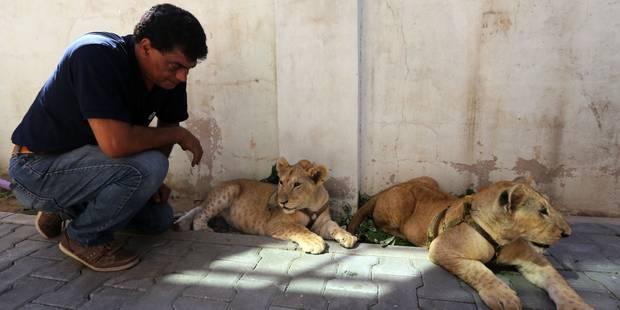 Deux bébés lions quittent Gaza pour la Jordanie - La Libre