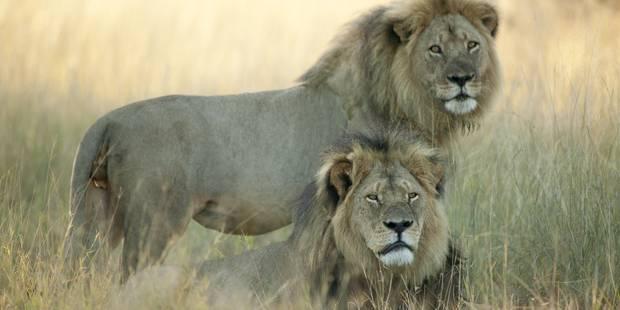 Jericho, le frère du lion Cecil, tué à son tour au Zimbabwe ? - La Libre