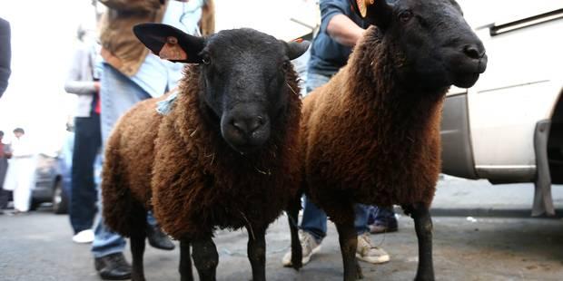 Égorgement de mouton sans étourdissement: Rite ou droit absolu ? - La Libre