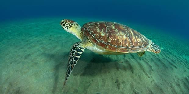 Le climat se réchauffe, les tortues marines changent de sexe - La Libre