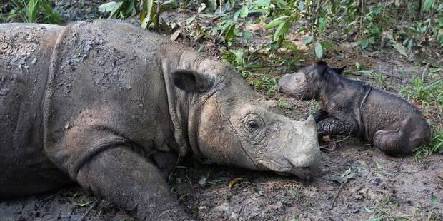 Emigrer pour survivre: la dernière chance pour les rhinocéros braconnés ? - La Libre