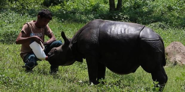 L'Inde peine à protéger ses rhinocéros face aux braconniers - La Libre