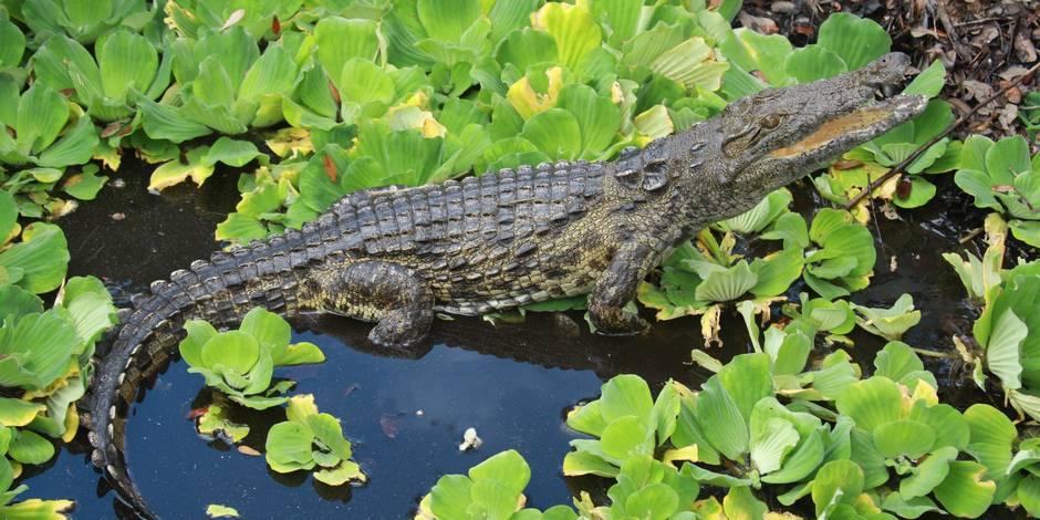 Il est rest bloqu 4 jours sur une le apr s qu 39 un for Attaque de crocodile dans une piscine