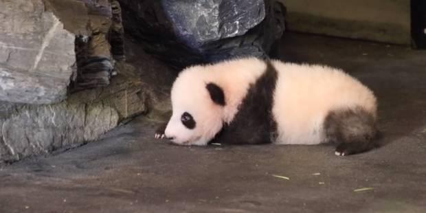 Votez pour le nom du bébé panda de Pairi Daiza (VIDEO) - La Libre
