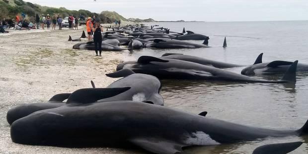 Plus de 400 baleines s'échouent en Nouvelle-Zélande (PHOTOS et VIDEO) - La Libre