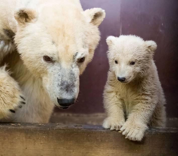 Il était le premier ours polaire né depuis 22 ans dans l'ancien zoo de Berlin-Est.