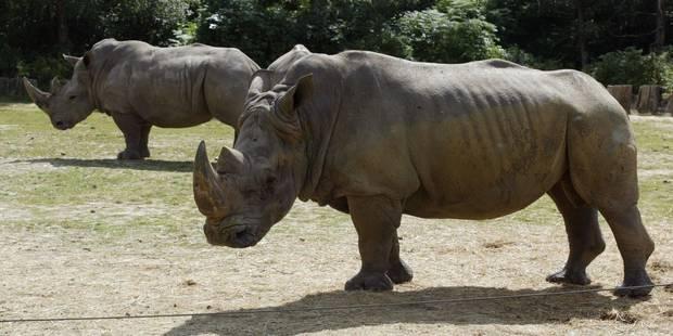 Un rhinocéros tué dans un zoo, sa corne sciée et volée - La Libre