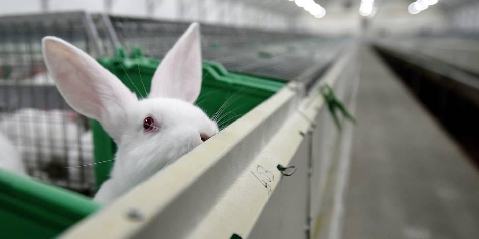 Des députés veulent mettre fin à l'élevage de lapins en batterie - La Libre