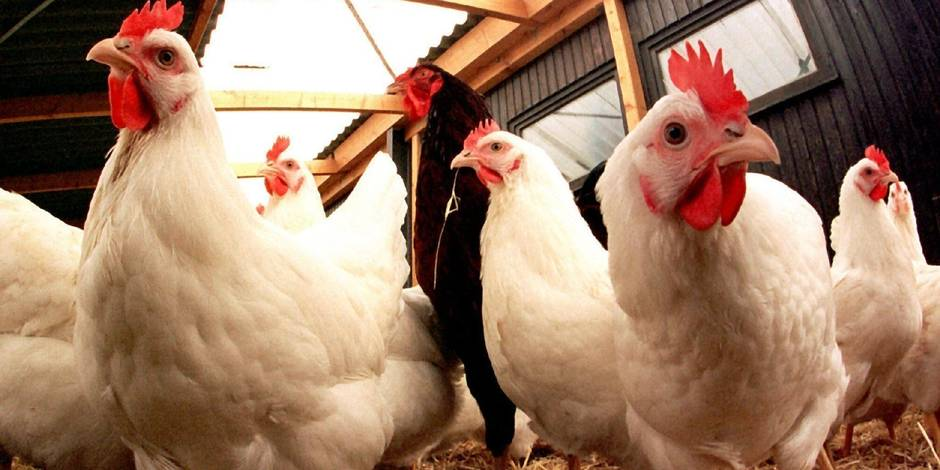 Promiscuité, cadavres putréfiés… L214 épingle un élevage de poules effroyable