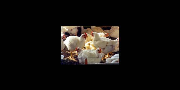 Fin du confinement pour les volailles de particuliers dès le 1er mai - La Libre