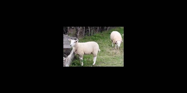 La «langue bleue» inquiète les éleveurs - La Libre