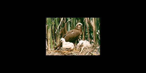 Un busard des roseaux empoisonné - La Libre