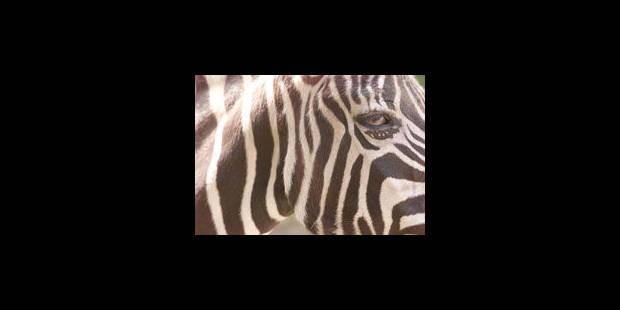 Zèbres chinois - La Libre