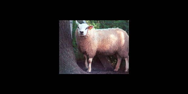 La tonte de mouton aux JO? - La Libre