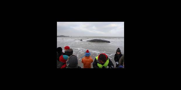 Des baleines désorientées - La Libre