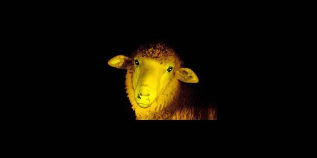 Naissance de moutons fluorescents - La Libre