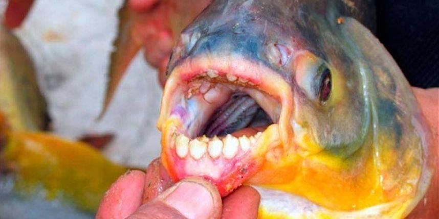 Suède: un poisson mangeur de testicules sème la panique