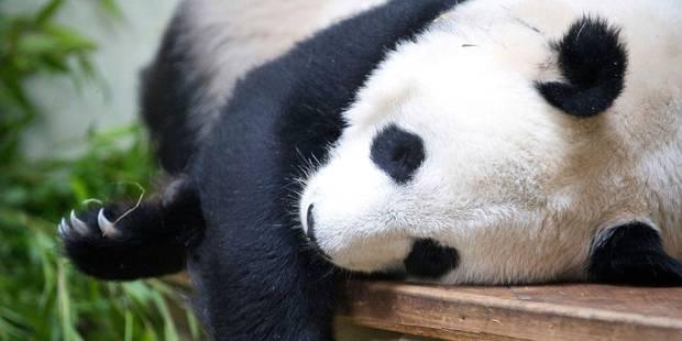 La Chine prêtera bien deux pandas au parc Pairi Daiza - La Libre