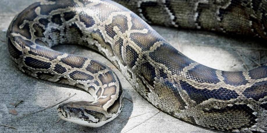 Un python sur le billard