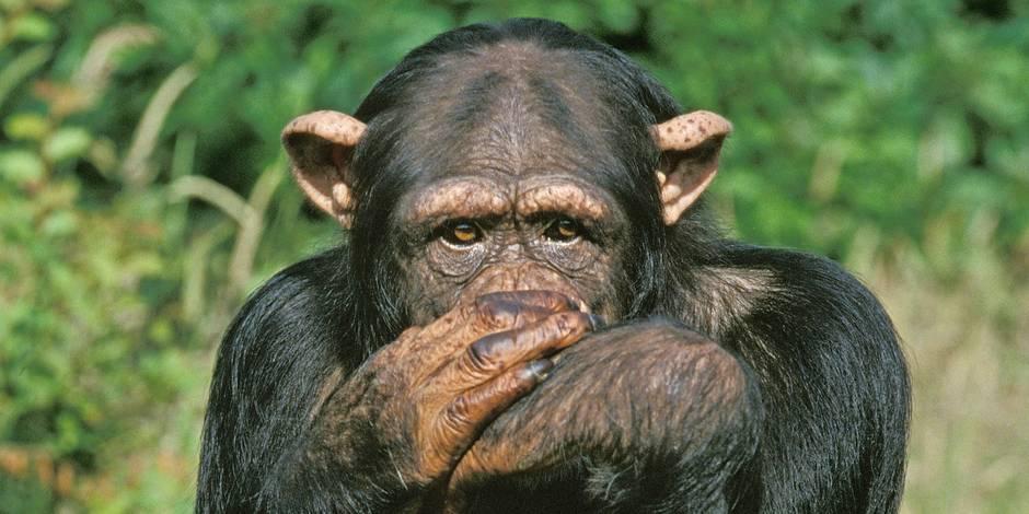 """Les singes, """"nos frères d'évolution"""""""