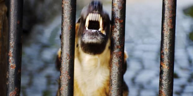 Une enfant de 10 ans attaquée par 11 chiens à Riemst - La Libre