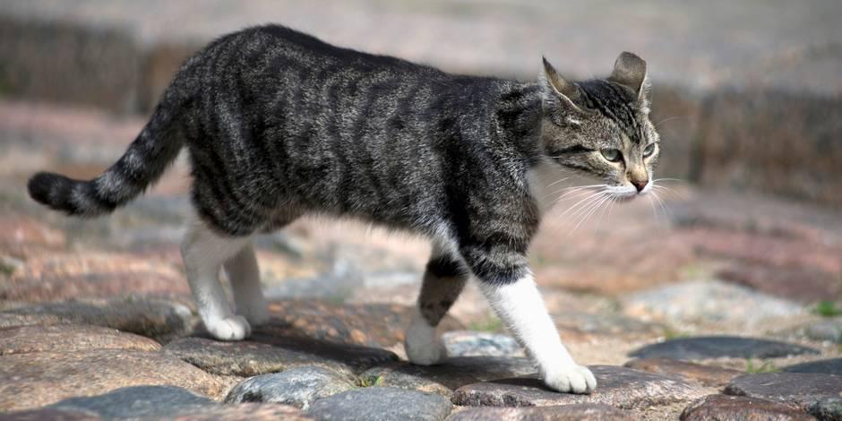 Faut-il systématiquement stériliser tous les chats? - La Libre