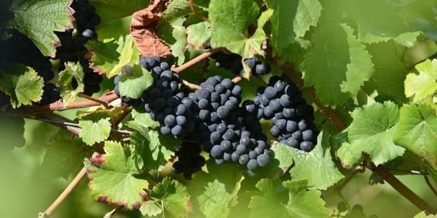 La production de vin belge a presque doublé en 2013 - La Libre