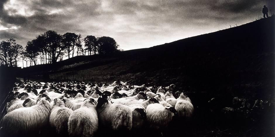 Sheep; Ireland