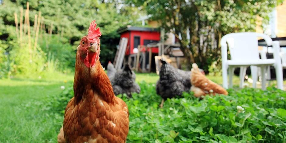 Adoptez une poule pour réduire vos déchets !