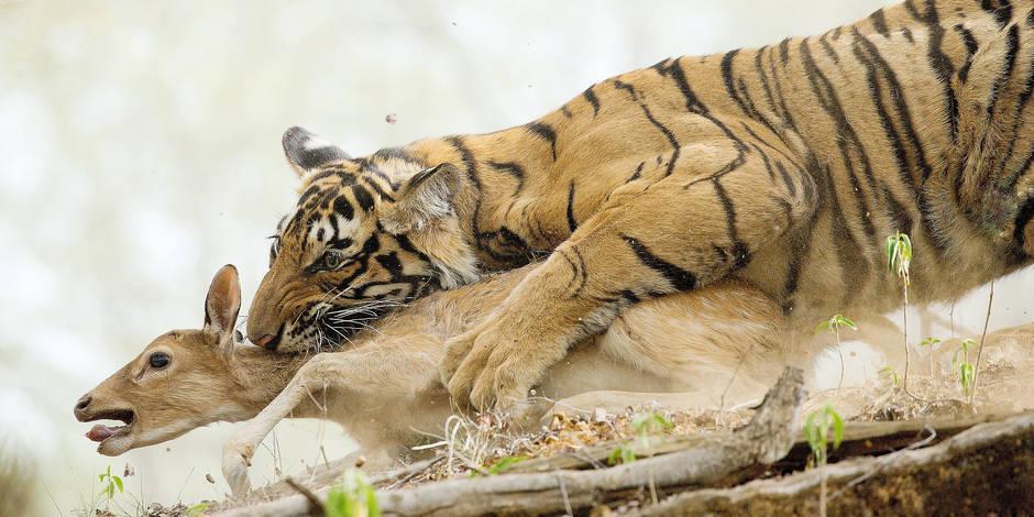 Truqués, la plupart des documentaires animaliers? - La Libre