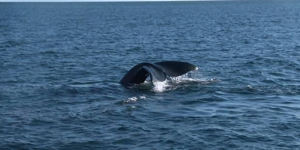 Les baleines australes menacées par le réchauffement des eaux - La Libre