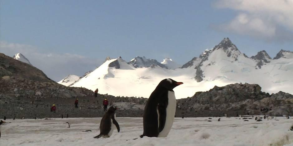 Manchots d'Antarctique recherchent crevettes