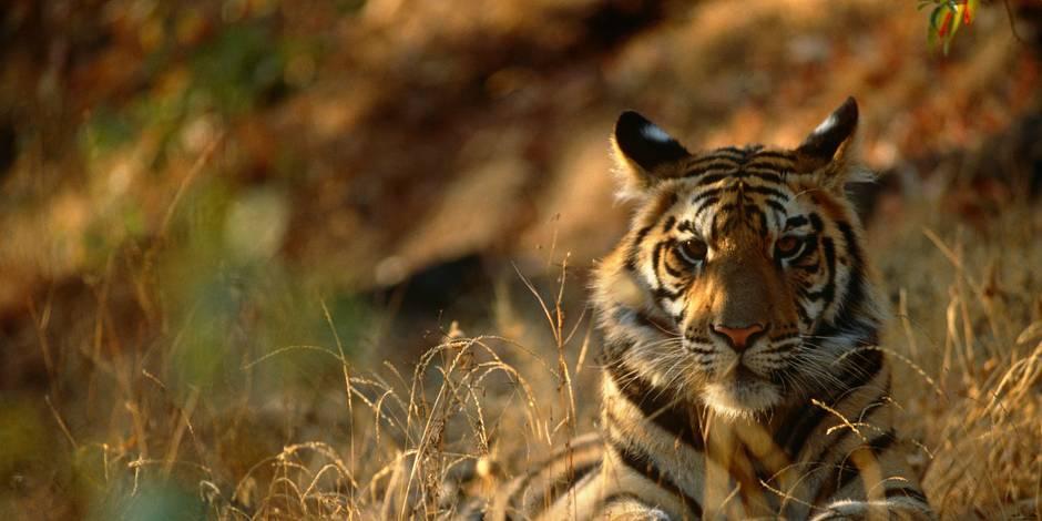 Pour la première fois en 100 ans, le nombre de tigres augmente