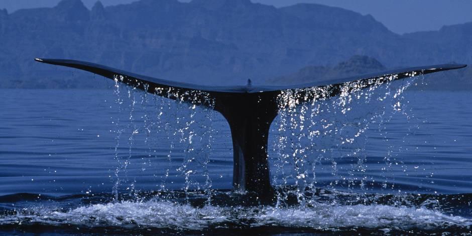 Les humains risquent de causer une extinction sans précédent de grands animaux marins