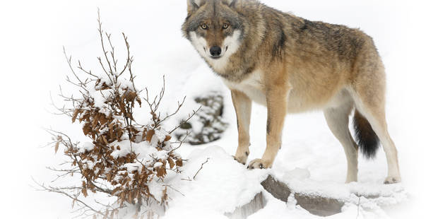 Wolf (Canis lupus), Bavarian Forest National Park, Germany.